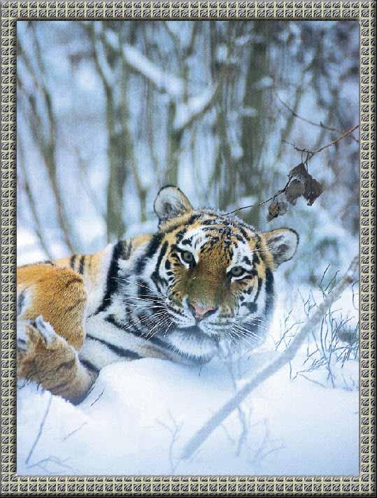 рамки зебра фото